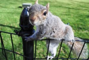 V newyorških parkih kraljujejo pogumne veverice, ki takole pridejo prosit za hrano. Tale na fotografiji je bila tako izbirčna, da je z riževega vaflja pojedla le čokolado, preostalo pa zavrgla.